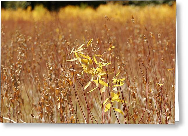 Plant Color Changes Greeting Cards - Native Grasses Display Autumn Colors Greeting Card by Charles Kogod
