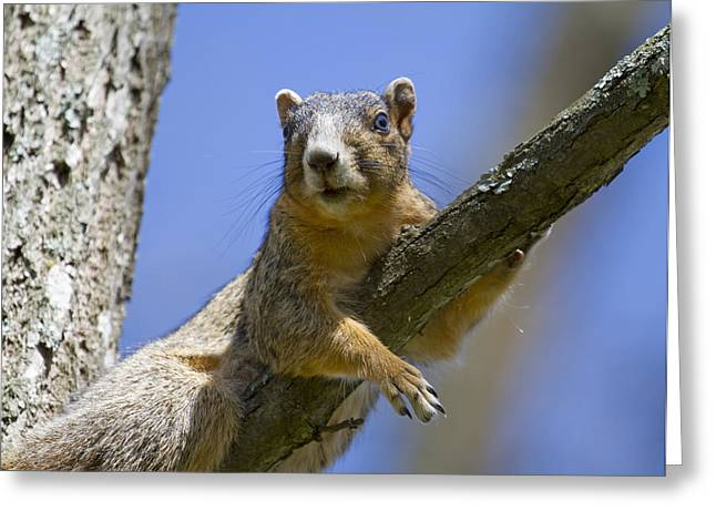 Fox Squirrel Greeting Cards - Natural Blues Greeting Card by Betsy A  Cutler