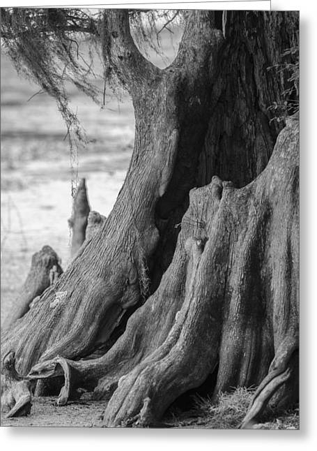 Living Life Photography Greeting Cards - Natural Cypress Greeting Card by Carolyn Marshall