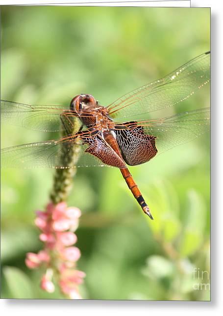 Saddlebag Greeting Cards - Nature Square - Saddleback Dragonfly Greeting Card by Carol Groenen