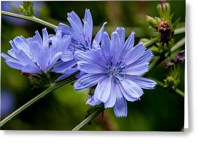 Natures Beautiful Blue Chicory Flowers Greeting Card by John Haldane
