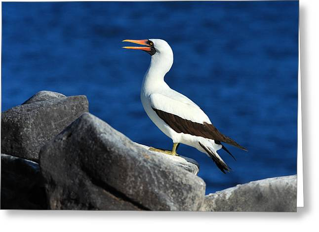 Nazca Greeting Cards - Nazca Booby Greeting Card by Tony Beck