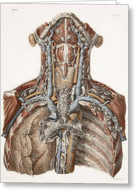 Hand-colored Lithograph Greeting Cards - Neck Anatomy, 19th Century Artwork Greeting Card by