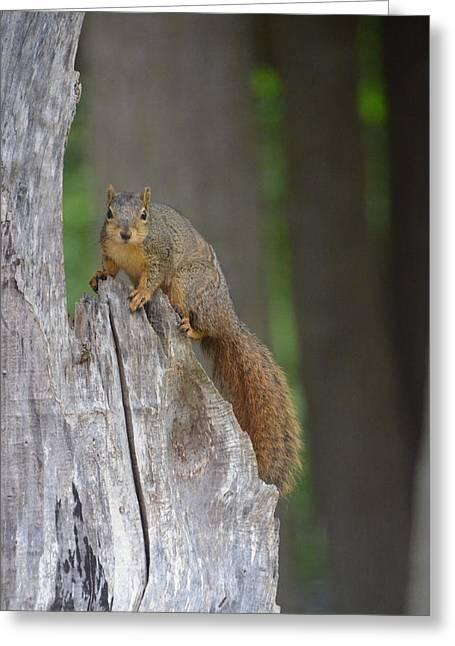 Fox Squirrel Greeting Cards - Nervous squirrel Greeting Card by Linda Larson