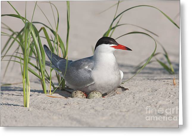 Tern Greeting Cards - Nesting Common Tern Greeting Card by Clarence Holmes
