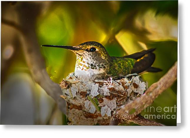 Trochilidae Greeting Cards - Nesting Greeting Card by Robert Bales