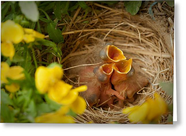 Hungry Chicks Greeting Cards - Nesting Trio Greeting Card by Joye Ardyn Durham