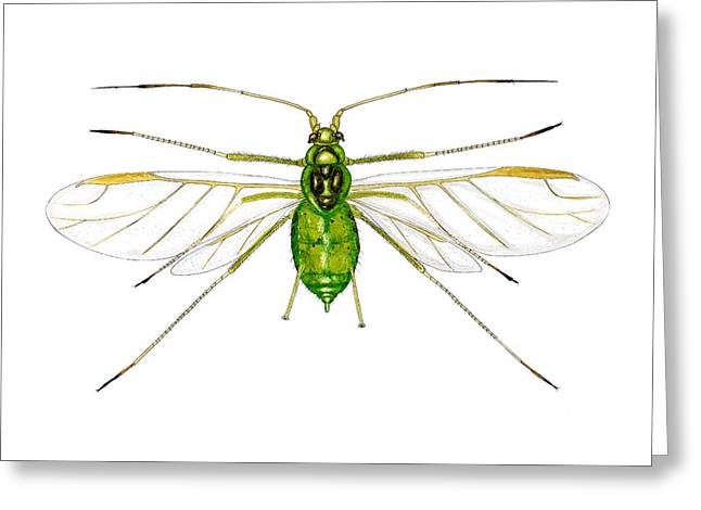Asexual Greeting Cards - Nettle Aphid Greeting Card by Dr Keith Wheeler