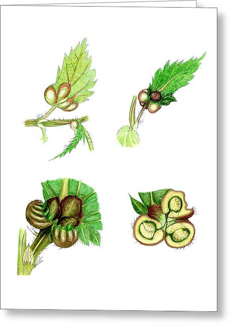 Quartet Greeting Cards - Nettle Leaf Galls Greeting Card by Dr Keith Wheeler