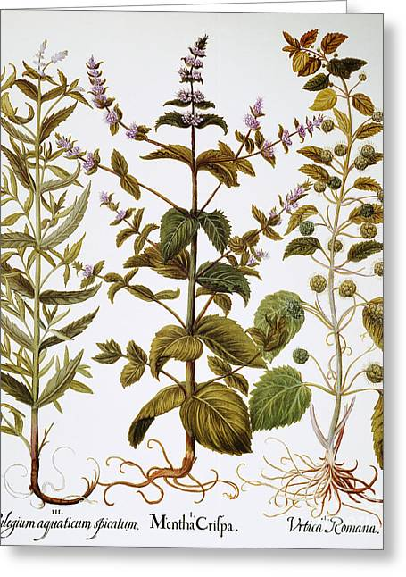 Horsemint Greeting Cards - Nettles And Mint, 1613 Greeting Card by Granger