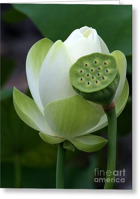 Lotus Seed Pod Greeting Cards - New Beginnings Greeting Card by Sabrina L Ryan