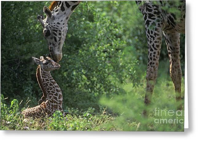 17 Months Greeting Cards - New Born Giraffe - Lake Manyara NP Tanzania Greeting Card by Craig Lovell