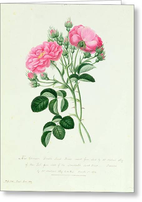 Pink Blossoms Drawings Greeting Cards - New Crimson Double Sweet Briar of New York Greeting Card by Pierre Joseph Redoute