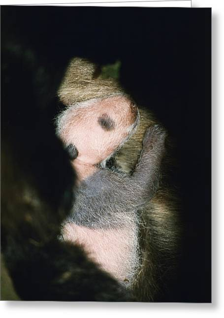 Animal Life Cycles Greeting Cards - New Cub, Xi Wang, Being Cradled Greeting Card by Lu Zhi