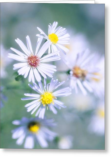 Asters Greeting Cards - New England Aster (aster Novae-angliae) Greeting Card by Maria Mosolova