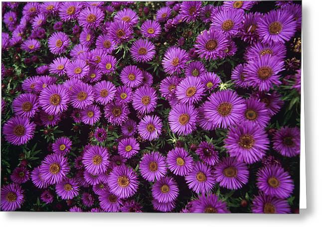 Asters Greeting Cards - New England Aster purple Dome Greeting Card by Adrian Thomas