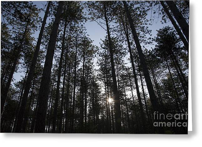 Pinus Resinosa Greeting Cards - New England Red Pine Forest Greeting Card by Erin Paul Donovan
