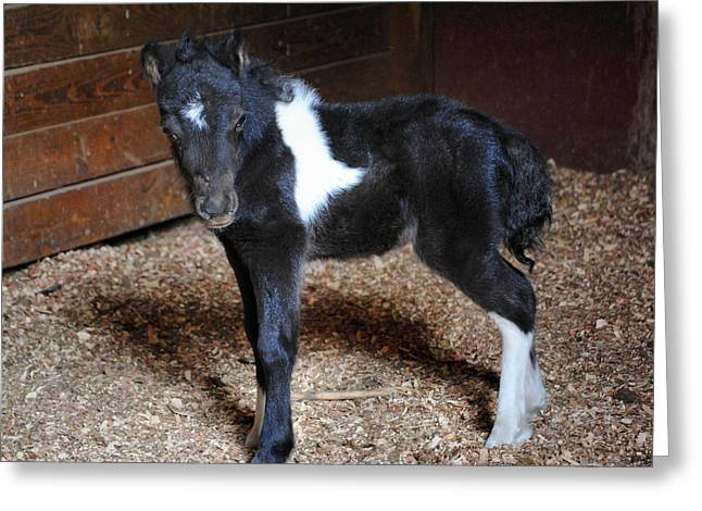 Oreo Photographs Greeting Cards - New Life Miniature Pony Greeting Card by Jai Johnson