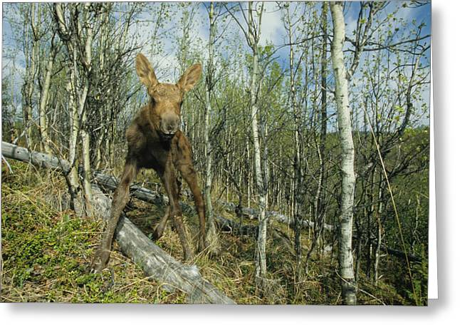 Quaking Aspen Greeting Cards - Newborn Calf Moose Stands In A Quaking Greeting Card by Michael S. Quinton