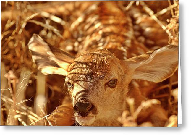 Newborn Fawn Greeting Card by Mark Duffy