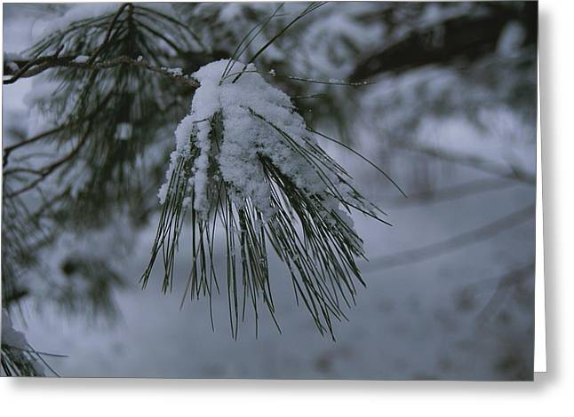 Pine Needles Greeting Cards - Newly Fallen Snow Gathers On Pine Greeting Card by Stephen St. John