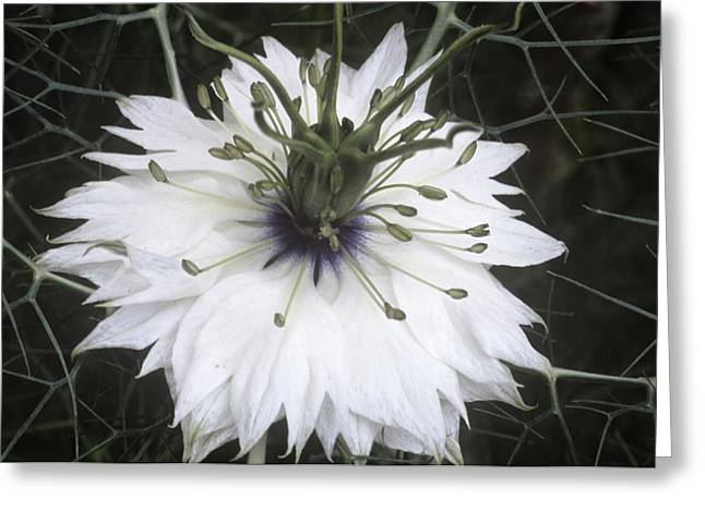 Damascena Greeting Cards - Nigella Damascena Miss Jekyll White Greeting Card by Archie Young