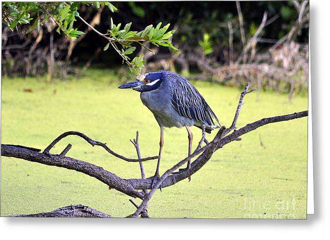 Crowned Heron Greeting Cards - Night-Heron Greeting Card by Al Powell Photography USA