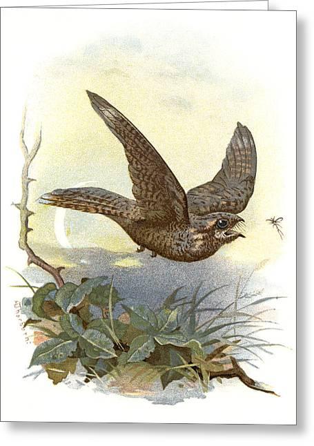 Nightjars Greeting Cards - Nightjar, Historical Artwork Greeting Card by Sheila Terry