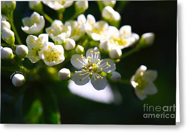 Tiny Whites Greeting Cards - Ninebark Blooms Greeting Card by Cheryl Young