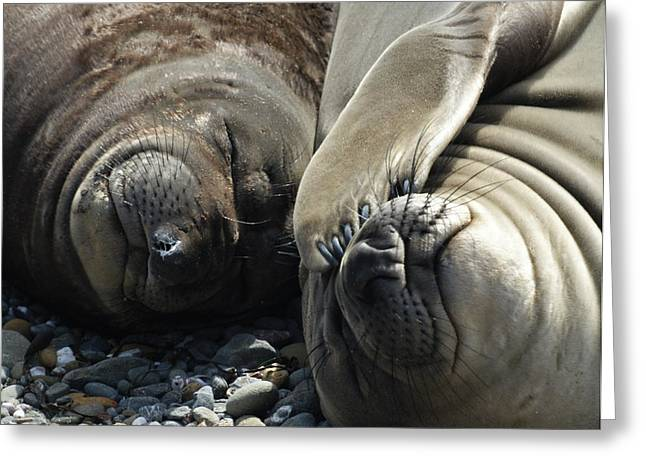 Elephant Seals Greeting Cards - No more pics please Greeting Card by Ernie Echols