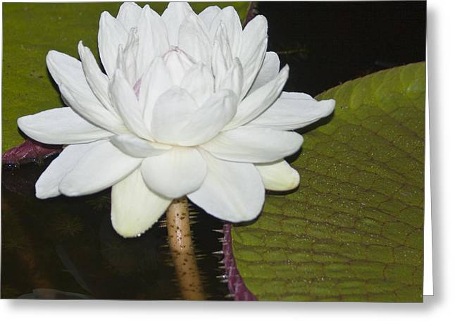 Water Lilly Greeting Cards - Nocturnal Blossom of Victoria Lily Greeting Card by Heiko Koehrer-Wagner