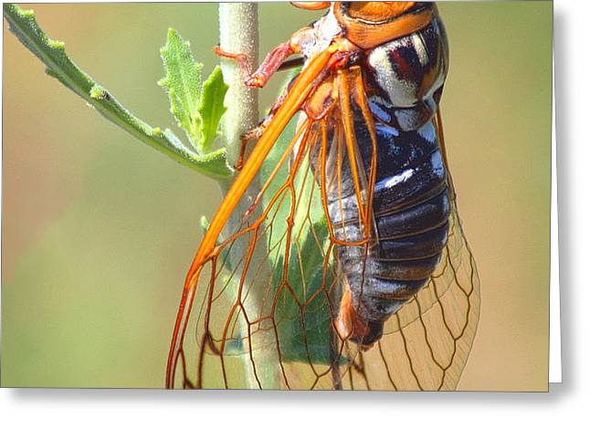 Noisy Cicada Greeting Card by Shane Bechler
