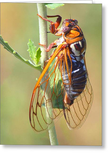 Vibrate Greeting Cards - Noisy Cicada Greeting Card by Shane Bechler