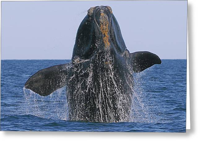 Right Whale Breach Greeting Cards - North Atlantic Right Whale breaching Greeting Card by Tony Beck