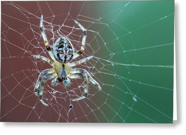 Arachnids Greeting Cards - North Dakota Spider Greeting Card by Christy Patino