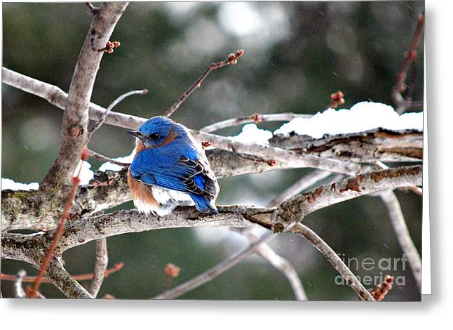 Northern Bluebird Greeting Card by Lila Fisher-Wenzel