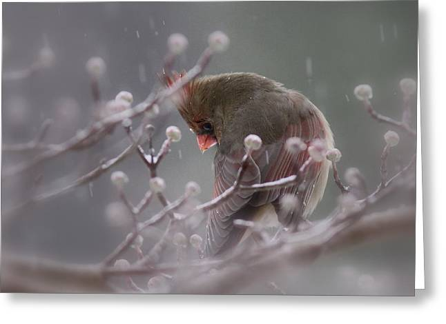 Travis Truelove Photography Greeting Cards - Northern Cardinal - Coy Greeting Card by Travis Truelove