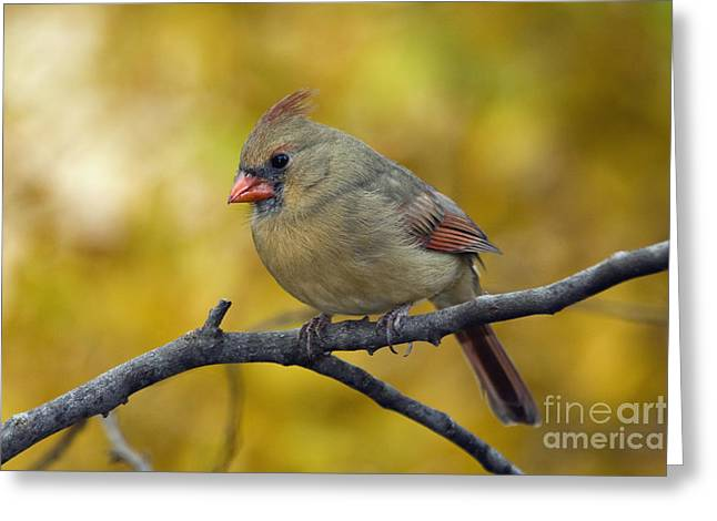 Female Northern Cardinal Greeting Cards - Northern Cardinal Female - D007849-1 Greeting Card by Daniel Dempster