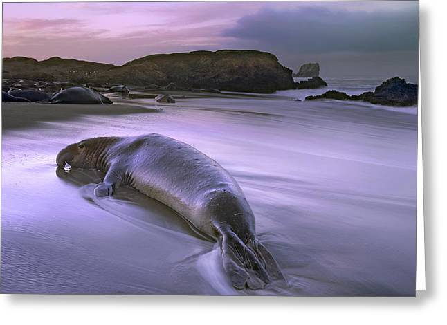 Elephant Seals Greeting Cards - Northern Elephant Seal Bull Laying Greeting Card by Tim Fitzharris