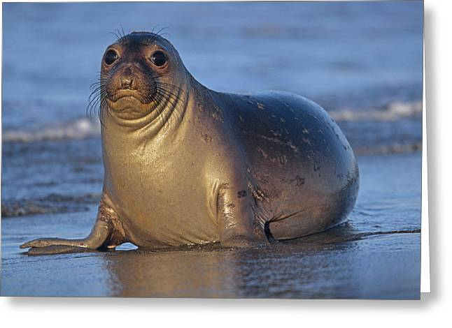 Elephant Seals Greeting Cards - Northern Elephant Seal Female Laying Greeting Card by Tim Fitzharris