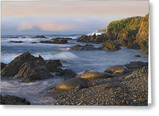 Big Sur Beach Greeting Cards - Northern Elephant Seal Group Resting Greeting Card by Tim Fitzharris