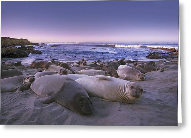Big Sur Beach Greeting Cards - Northern Elephant Seal Juveniles Laying Greeting Card by Tim Fitzharris