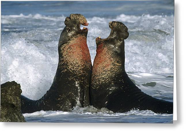 Bull Elephant Seals Fighting Greeting Cards - Northern Elephant Seal Males Fighting Greeting Card by Tim Fitzharris
