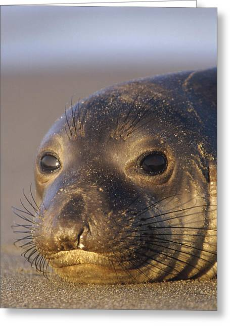 Elephant Seals Greeting Cards - Northern Elephant Seal Portrait Greeting Card by Tim Fitzharris