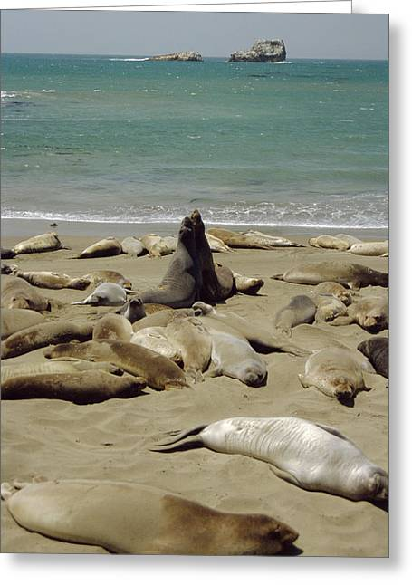 Big Sur Beach Greeting Cards - Northern Elephant Seals Greeting Card by Diccon Alexander