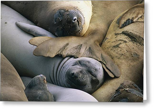 Elephant Seals Greeting Cards - Northern Elephant Seals Mirounga Greeting Card by Rich Reid