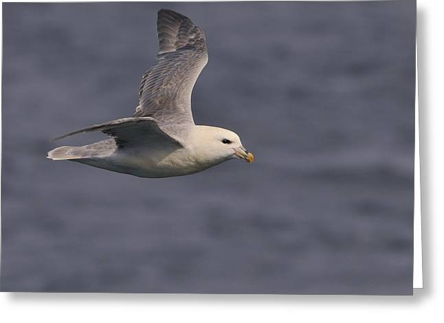 Northern Canada Greeting Cards - Northern Fulmar Greeting Card by Tony Beck
