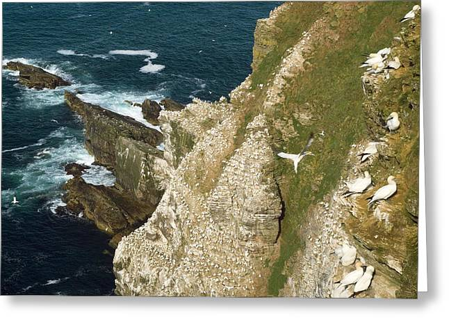 Gannet Greeting Cards - Northern Gannet Colony On Cliffs Greeting Card by Duncan Shaw