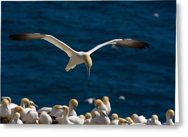 In Focus Greeting Cards - Northern Gannet In Flight, Cape St Greeting Card by John Sylvester