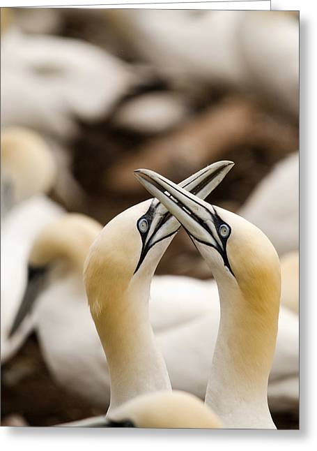 Rubbing Greeting Cards - Northern Gannets Morus Bassanus Rubbing Greeting Card by Philippe Widling